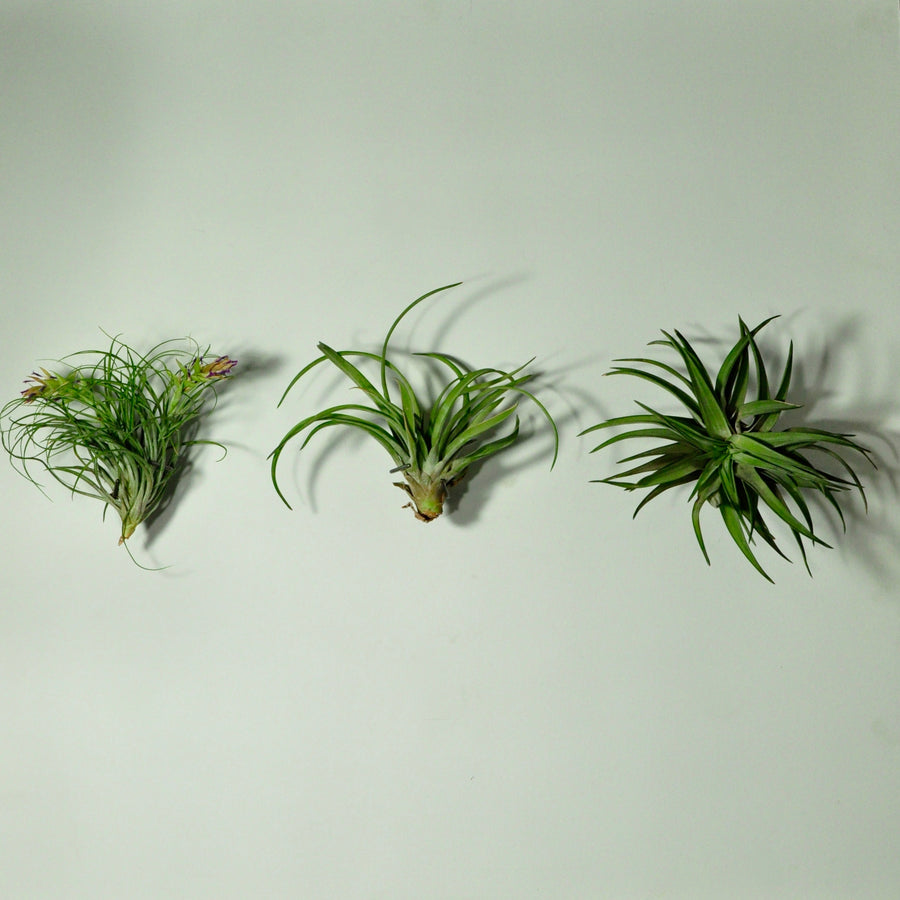 wall plant holder wall mounted planters air plants medium tillandsia