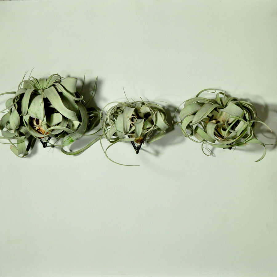 air plants wall mounted air plant holders