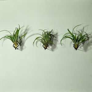 air plants indoor plants tillandsia wall mounted planters