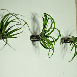 air plants indoor plants tillandsia wall mounted air plant display spring