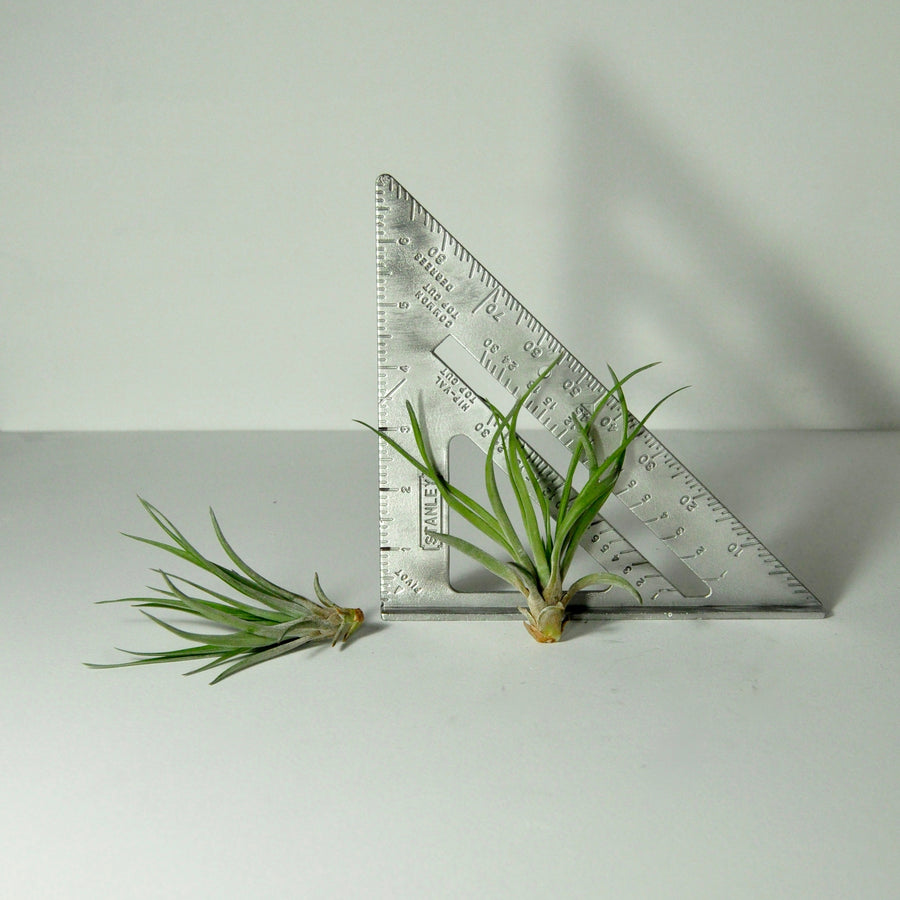 air plants indoor plants tillandsia brachycaulos
