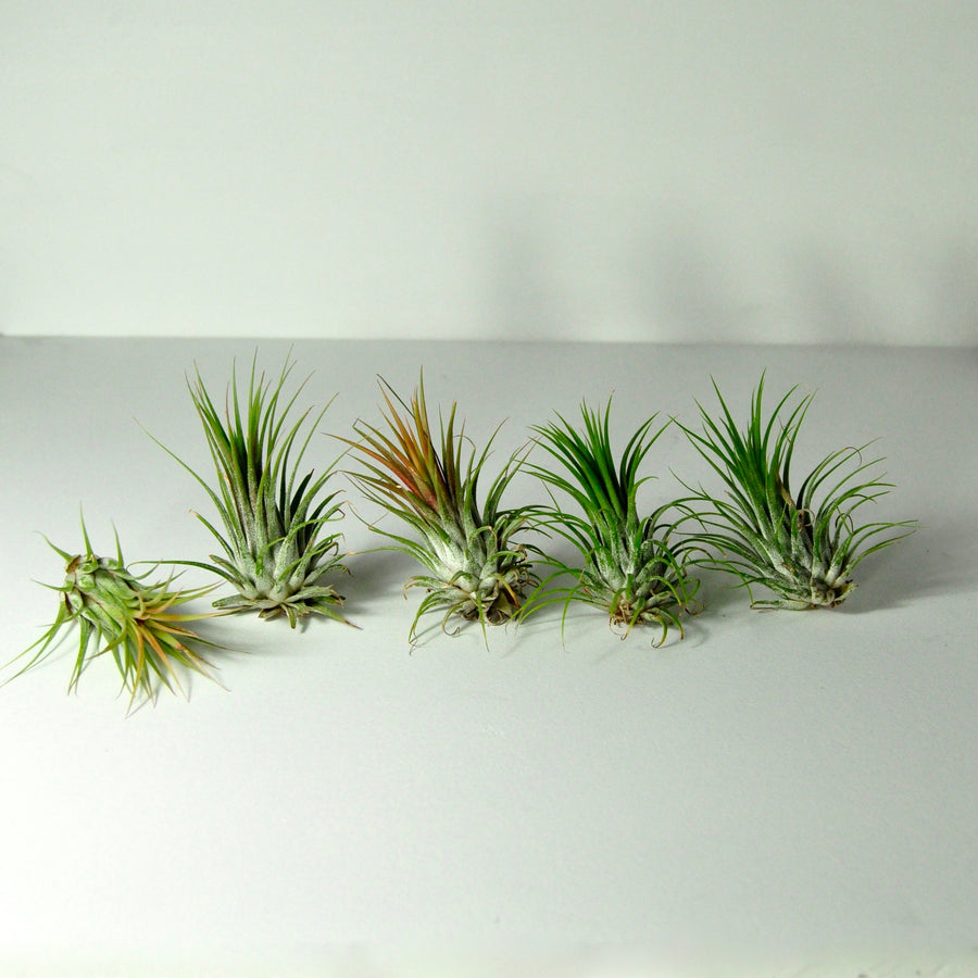 air plants indoor plants tillandsia