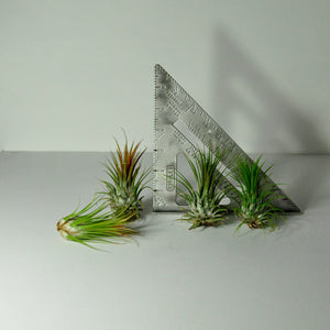 air plants tillandsia indoor plants