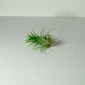 indoor plants air plants for sale tillandsia