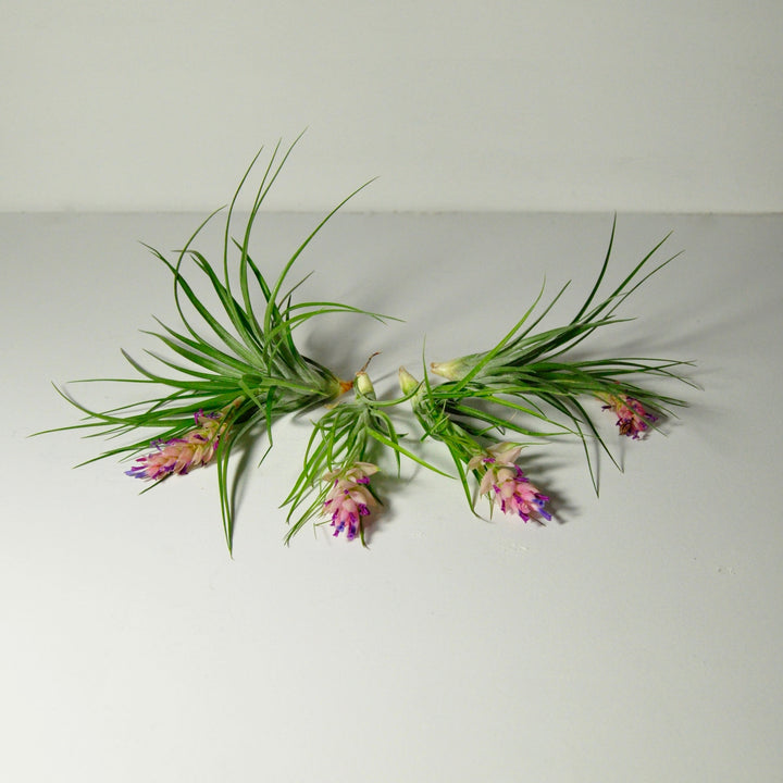 stricta air plants flowering indoor plants