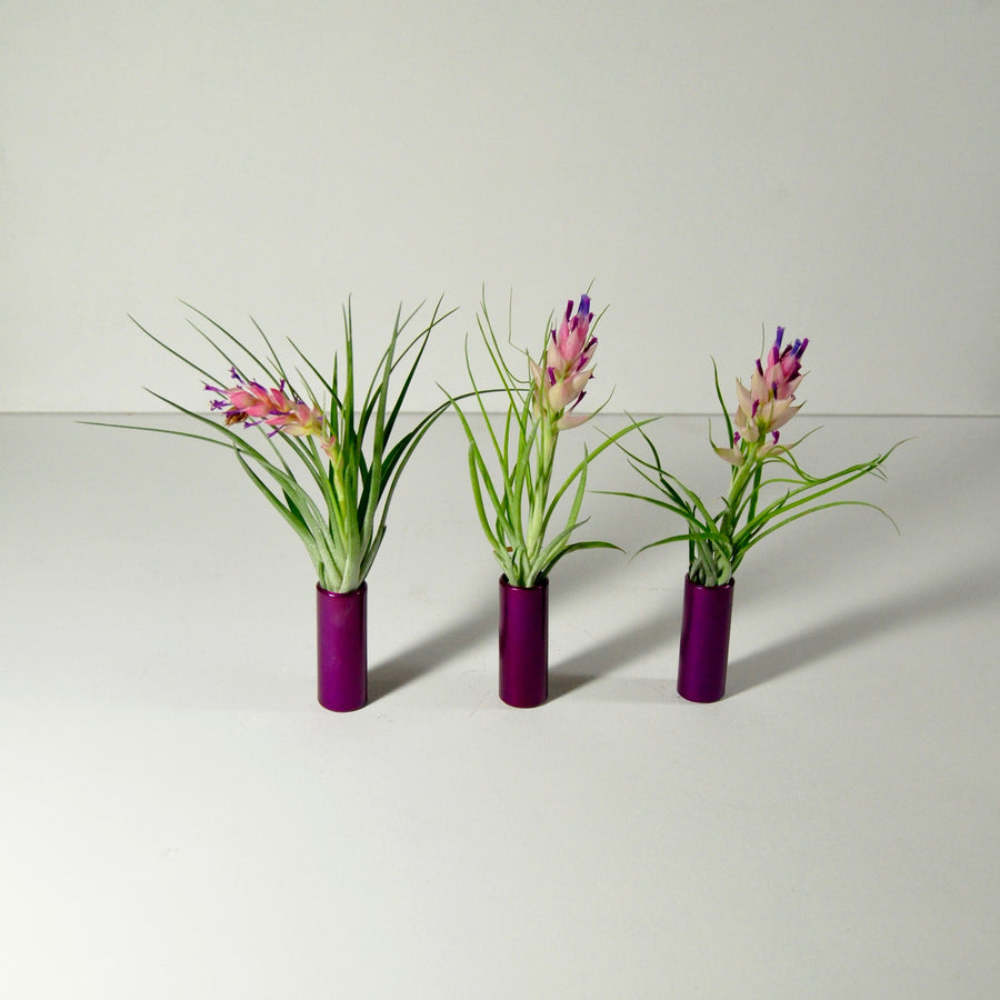air plants stricta flowering tillandsia metal display