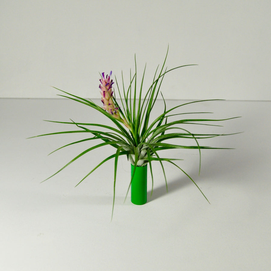 stricta air plant and display flowering metal green holder