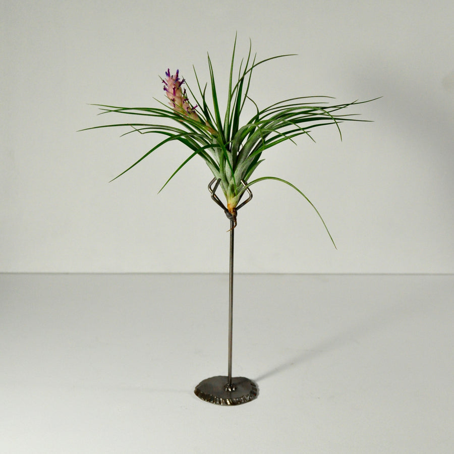 stricta flowering air plant metal display stand
