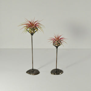 air plants ioantha guatemala pink tillandsia metal stand display