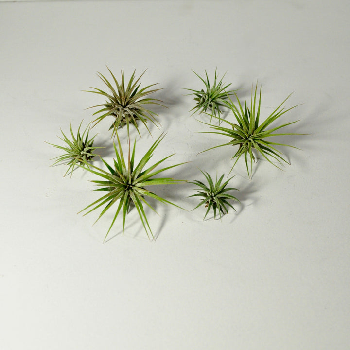 air plant tillandsia ionantha guatemala indoor plants