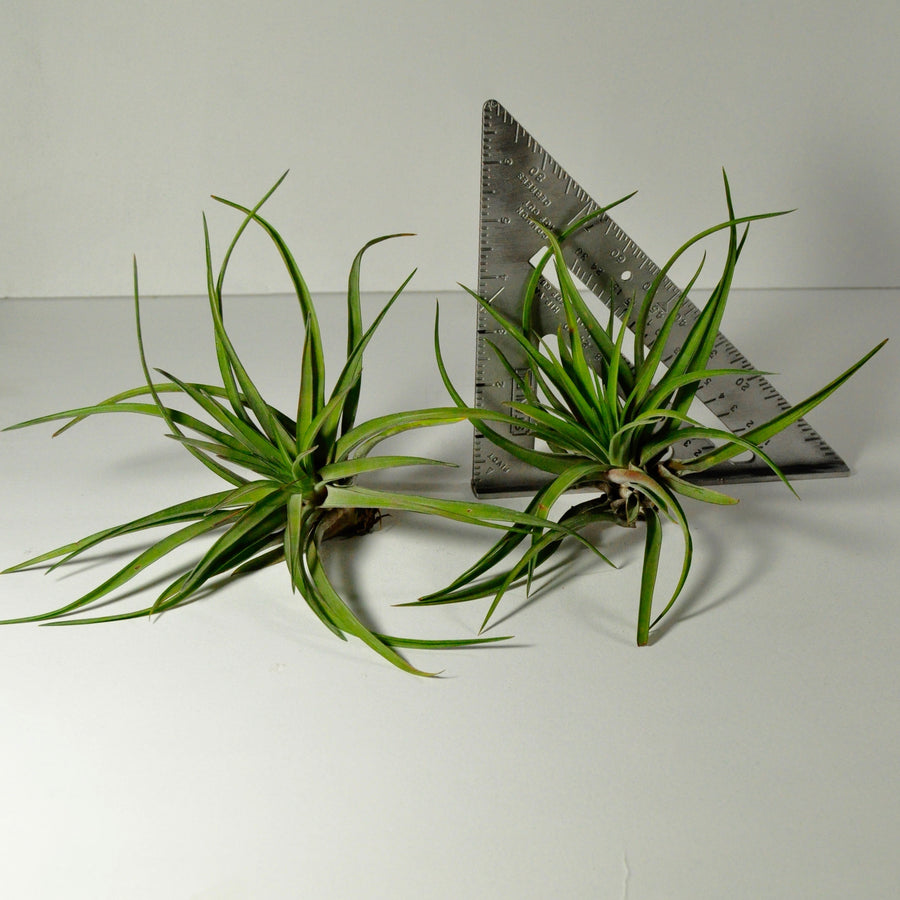 air plants velutina tillandsia indoor plants