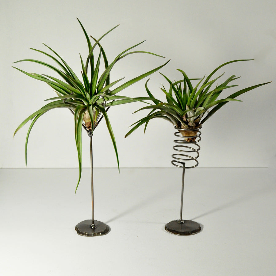 air plants velutina tillandsia metal plant holders