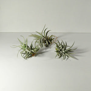 air plants tillandsia harrisii indoor plants
