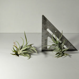air plants harrisii tillandsia