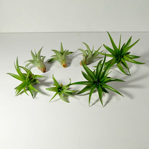 air plants brachycaulos indoor plants