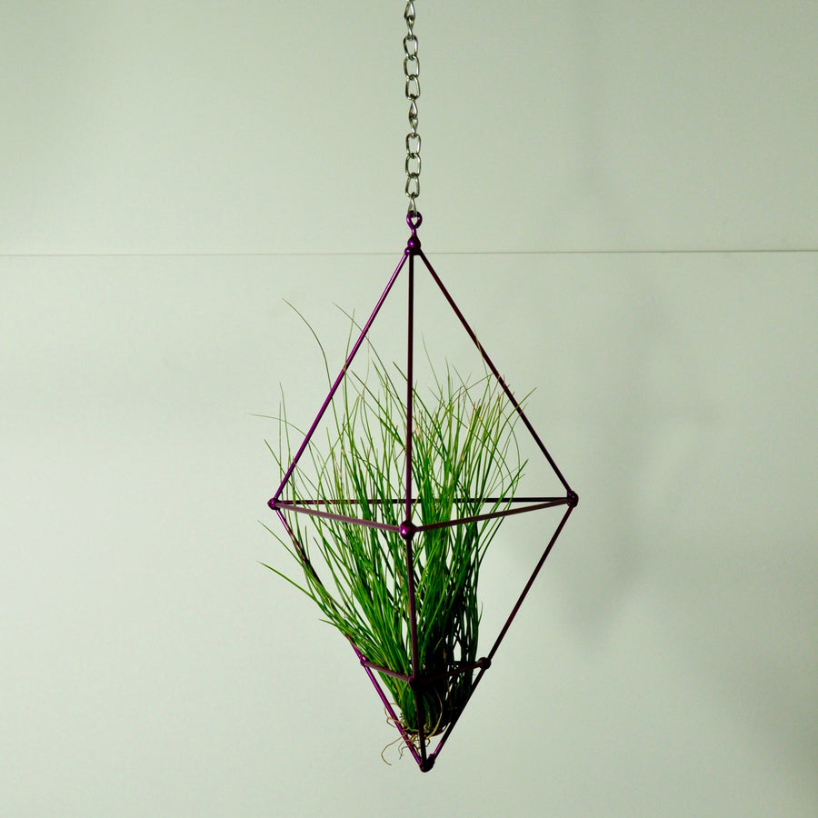 air plant setacea clump hanging air plant display