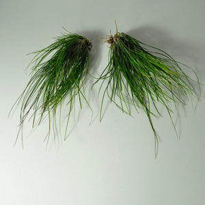 air plant setacea clump tillandsia large
