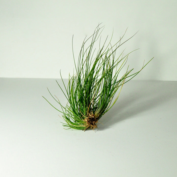 air plant setacea clump tillansia indoor plants