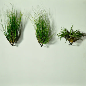 air plant setacea clump living wall planter