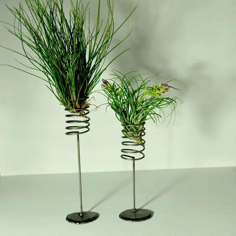 air plant display metal holder setacea clump