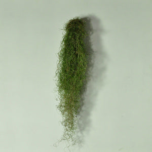 Usneoides fine green moss air plant wall mounted holder metal