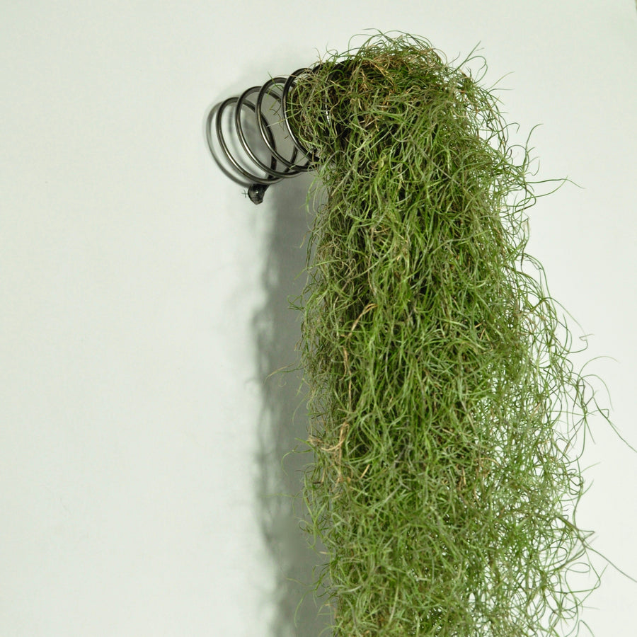 Usneoides fine green moss air plant wall mounted metal display