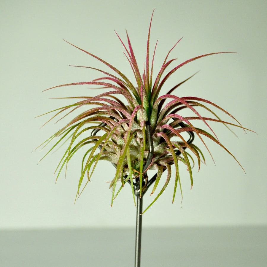 Medium Claw Stand Air Plant Holder