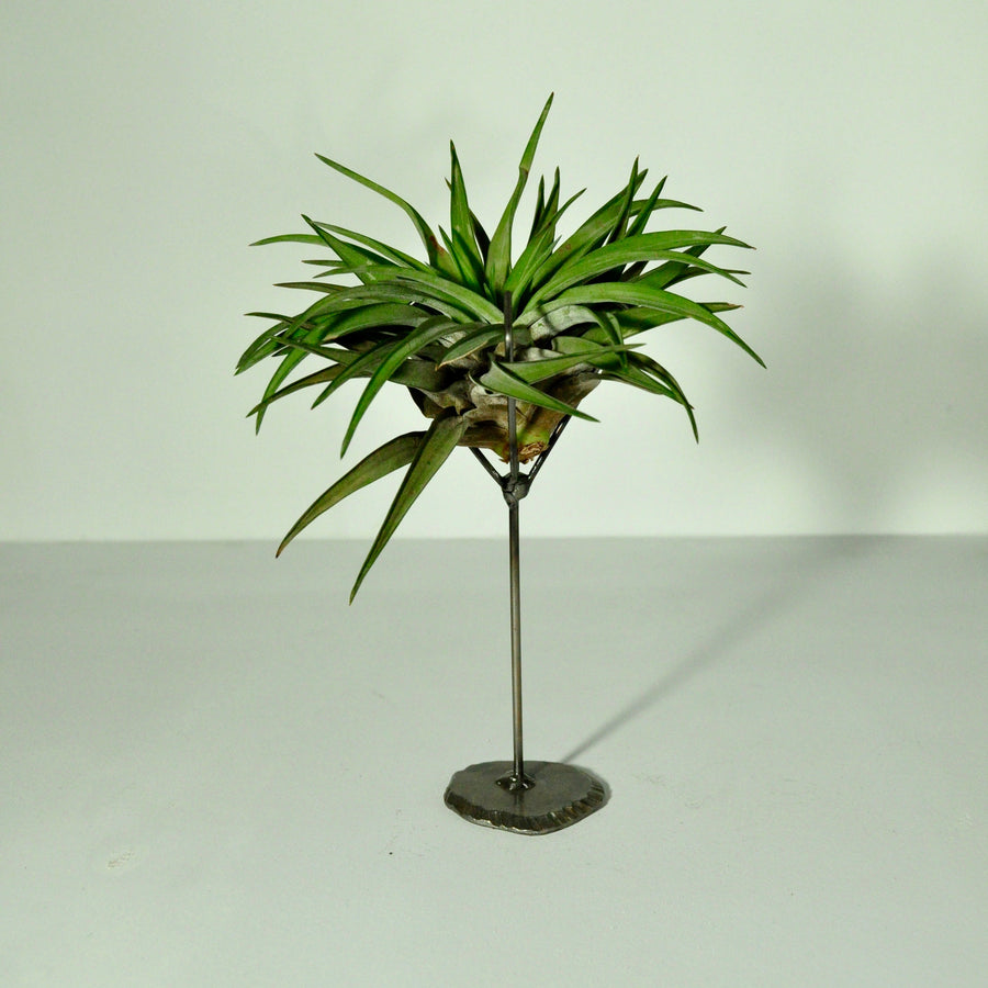 air plant holder metal display for large tillandsia with plant