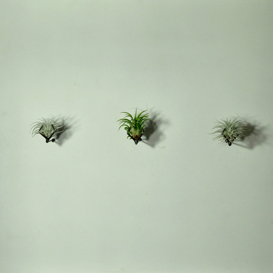 wall mounted air plant holder living wall planter display