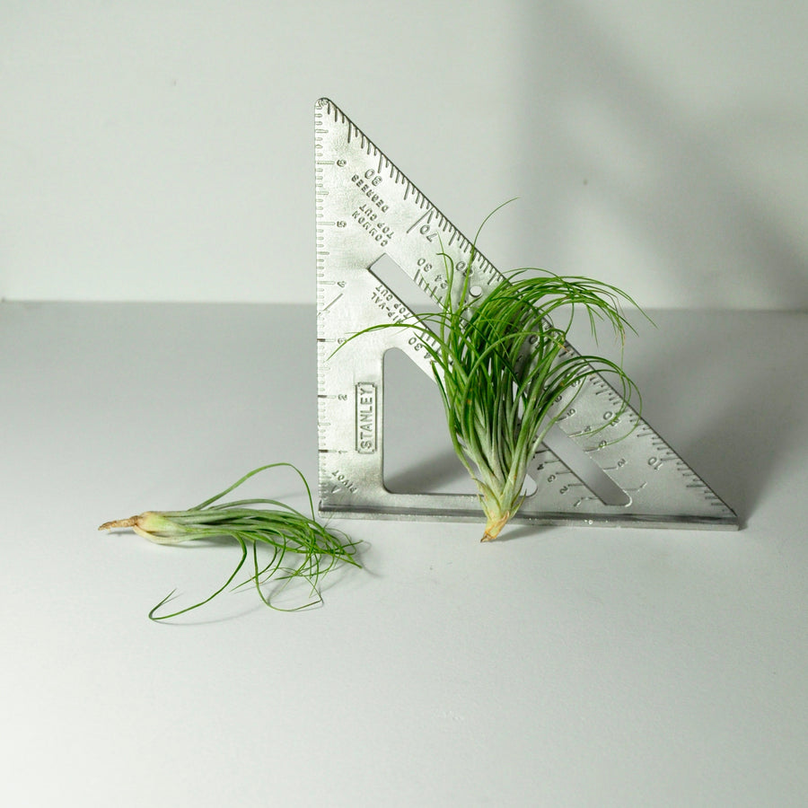 air plants stricta tillandsia house plants