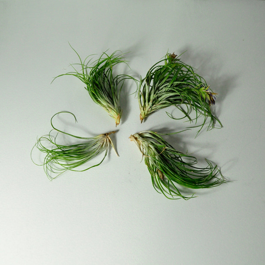 air plants stricta tillandsia indoor plants