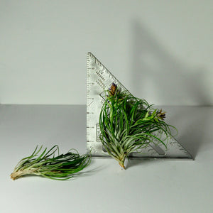 air plants stricta tillandsia house plants vertical garden