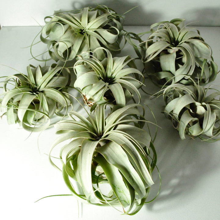 air plants tillandsia xerographica large indoor plants