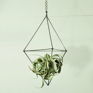 air plants tillandsia xerographica hanging air plant display