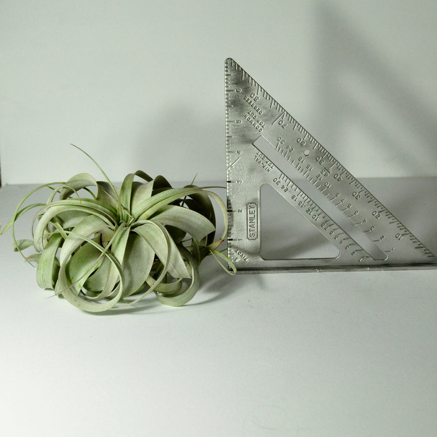 air plants tillandsia xerographica house plants