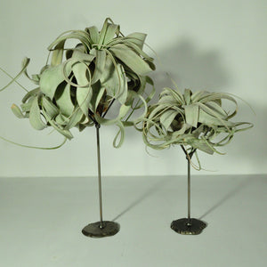 air plants tillandsia xerographica metal display stand