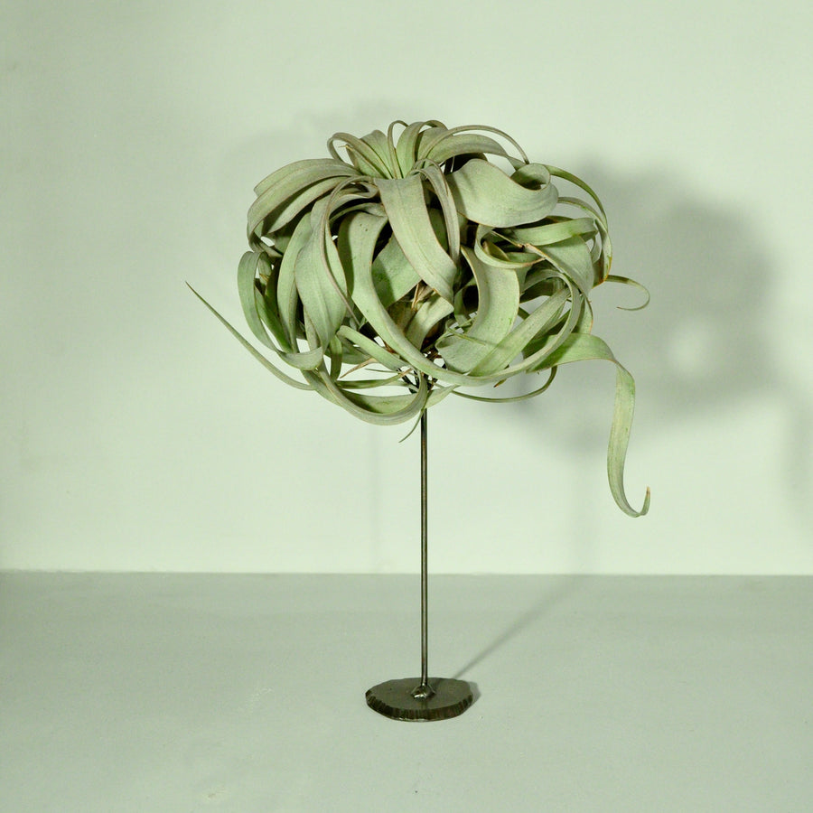 air plants tillandsia xerographica air plant holder stand