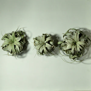 air plants tillandsia xerographica wall mounted planters