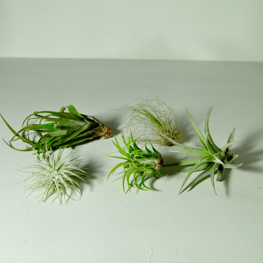air plants tillandsia for metal plant holder displays