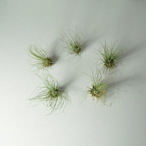 Fuchsii air plants tillandsia indoor plants