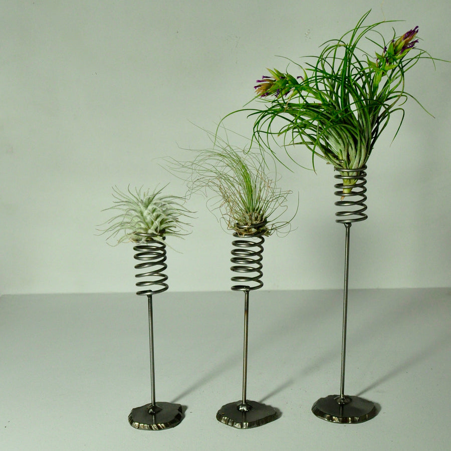 Air Plants Fuchsii tillandsia metal spring stand