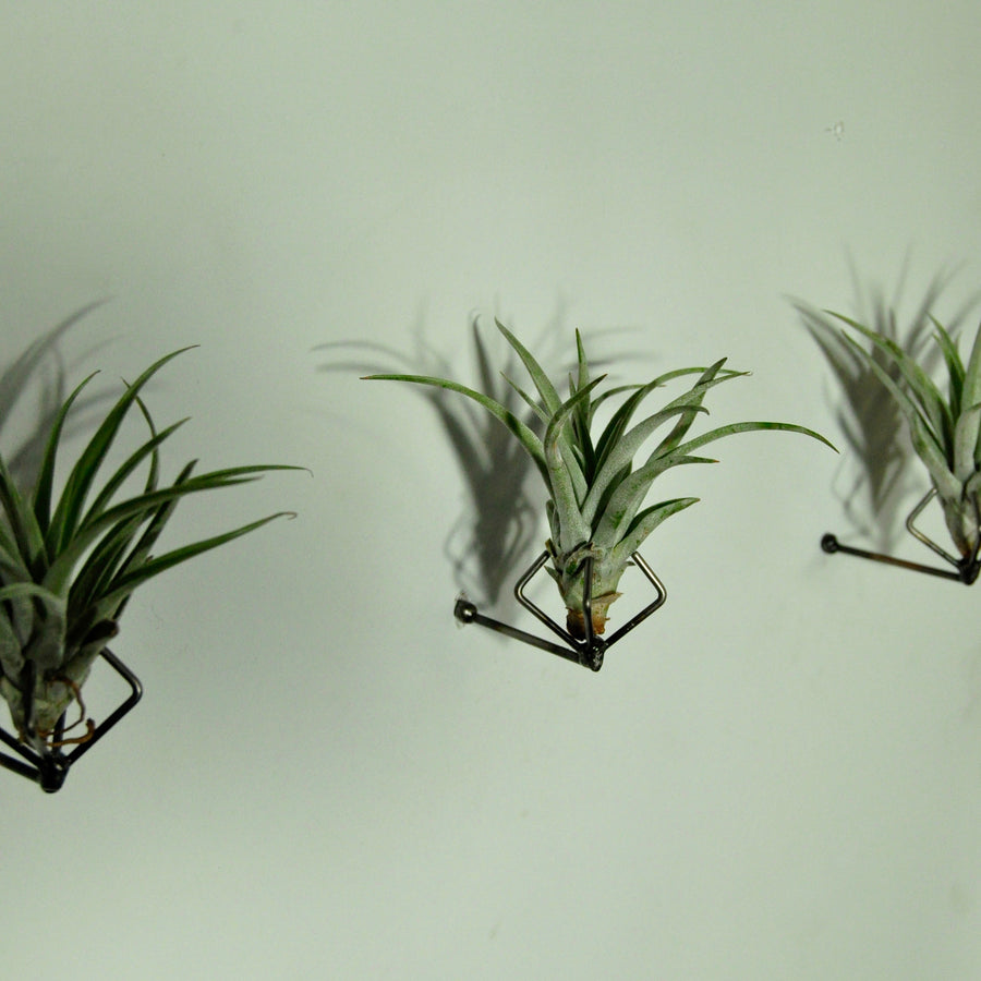 air plants tillandsia indoor plants wall mounted display