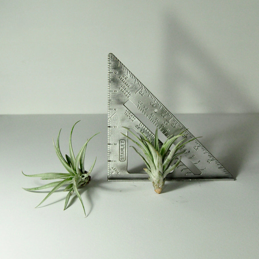 air plants tillandsia best indoor plants