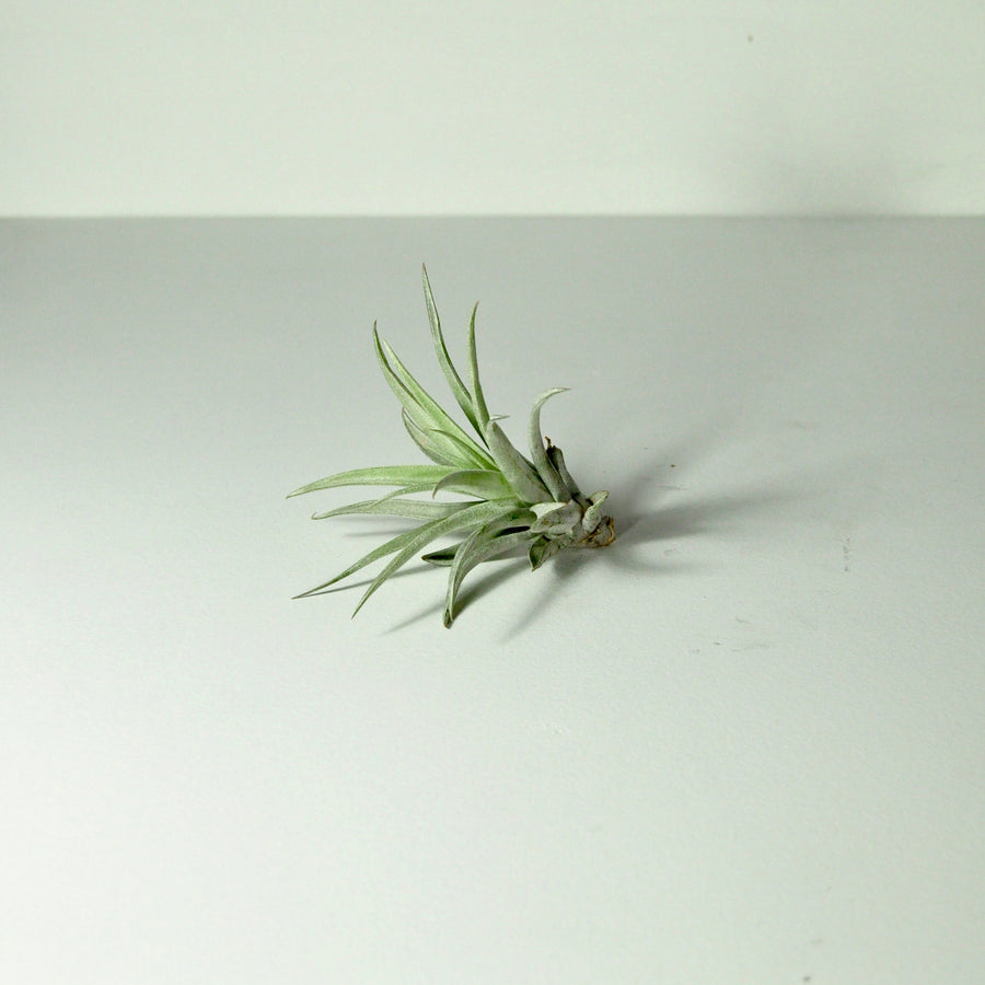 air plants tillandsia indoor plants harrisii