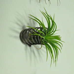 air plants house plants tillandsia wall mounted spring