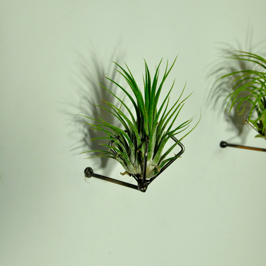 air plants house plants tillandsia with metal wall mount