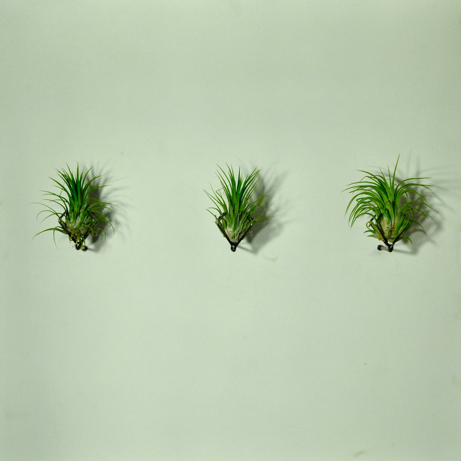 air plants house plants tillandsia wall mounted display
