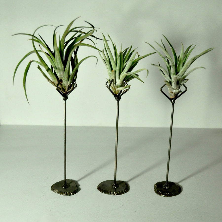 air plants tillandsia indoor plants metal stand