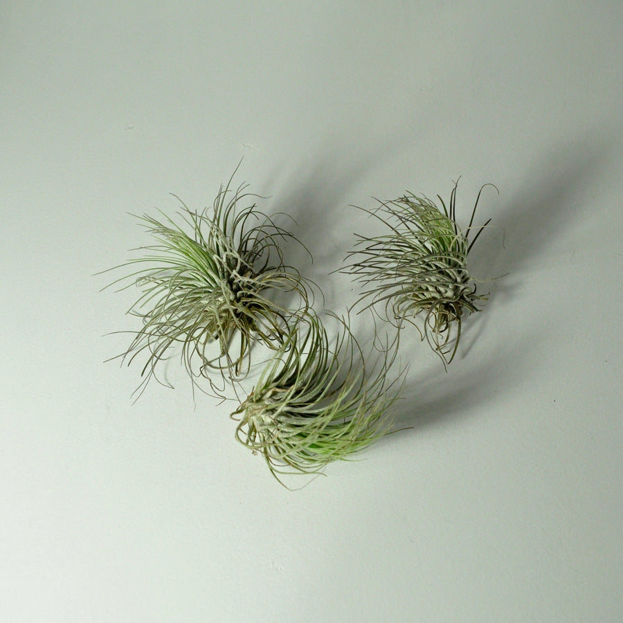air plants oaxacana tillandsia