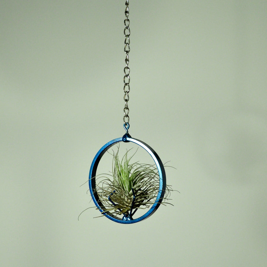 air plants oaxacana tillandsia hanging plants